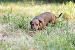A hunting dog walks along the grass dachshund, Basset