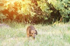 A hunting dog walks along the grass dachshund, Basset. Hunting dog dachshund, Basset walks along the grass in the street in the park royalty free stock image