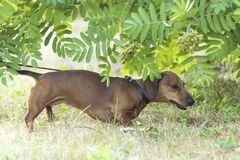 A hunting dog walks along the grass dachshund, Basset. Hunting dog dachshund, Basset walks along the grass in the street in the park stock photography