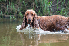 Hunting dog on the water Stock Photos