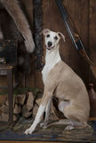 Hunting dog Whippet Stock Photo