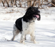 Hunting dog  on a winter Stock Photo