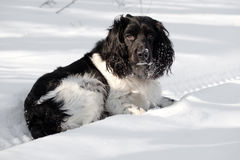 Hunting dog  on a winter Stock Photos