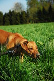 Hunting dog at work. Young hunting dog at work in the grass field Stock Photos
