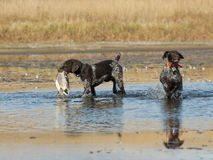 Hunting Dog with a Duck. Hunting Dog splashing in the water to retrieve a duck stock photos