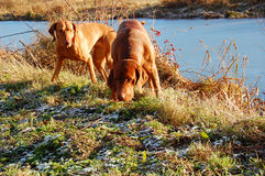 Hunting dogs. Hungarian Vizsla brown hunting dogs outdoor stock image
