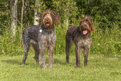 Hunting dogs. Griffon hunting dogs outdoors in summer Royalty Free Stock Images