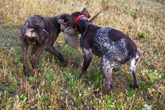 Hunting dogs. Two dogs hunting for prey Stock Photography
