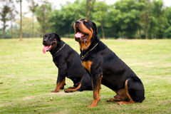 Hunting dogs. Picture of the hunting dogs royalty free stock photo