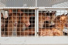 Hunting dogs in cage, Canary Islands hounds, canarian warren hou. Nds royalty free stock image