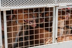 Hunting dogs in cage, Canary Islands hounds, canarian warren hou. Nds stock photography