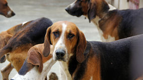 Hunting dogs at Cheverny castle. Pack of hunting dog at chateau Cheverny Stock Image