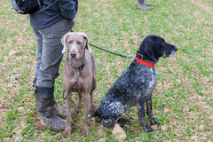 Hunting dogs. With a hunter royalty free stock image