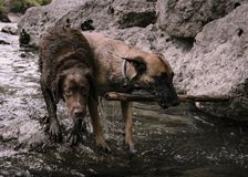 Hunting dogs, looking for a prey in the middle. Of the river stock photos