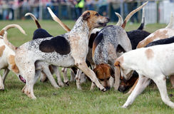 Hunting dogs Stock Photos
