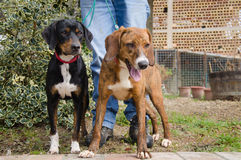 Hunting dogs. Photo of two hunting dogs stock images