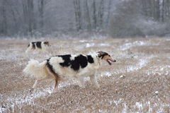 Hunting dogs on snow Stock Images
