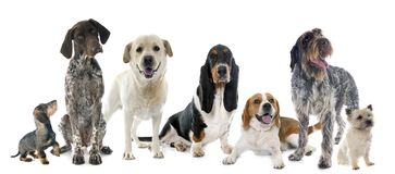 Hunting dogs in studio Stock Photography