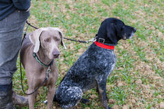 Hunting dogs. Two hunting dogs with hunter royalty free stock photo