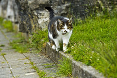 Hunting domestic cat Stock Photography