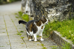 Hunting domestic cat Royalty Free Stock Photography