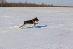 Hunting Drathaar in winter, German dog is taking a trail stock photo