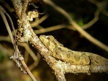 Hunting Dwarf Chameleon Stock Photo