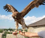 Hunting Eagle Royalty Free Stock Photo