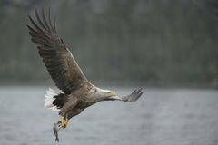 Hunting Eagle with Catch. Royalty Free Stock Photography