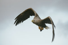 Hunting Eagle with Catch. Stock Image