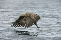 Hunting Eagle with Catch. Stock Photography