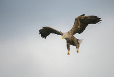 Hunting Eagle in a Dive. A White-tailed Eagle has spotted a potential meal and begins a shallow dive to make the catch royalty free stock photography