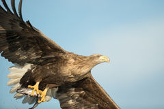 Hunting Eagle with Prey Royalty Free Stock Image