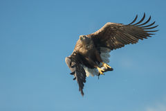 Hunting Eagle with Prey Stock Photography