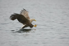 Hunting Eagle Stock Photography