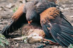 Hunting with eagles. Close up picture Stock Photo