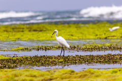 Hunting Egret. Egret hunting for food in a natural pool in the Caribbean sea Stock Photo