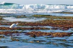 Hunting Egret Stock Image