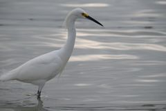 The hunting Egret royalty free stock image