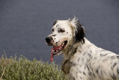 Hunting English Setter Stock Photo
