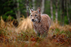 Hunting Eurasian Lynx in green forest Royalty Free Stock Photos