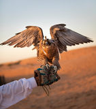 Hunting falcon Royalty Free Stock Image