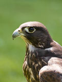 A hunting falcon Stock Images