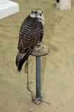 Hunting falcon Royalty Free Stock Photos