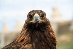 A hunting falcon animal avian beak bird of prey eagle falcon stock photos
