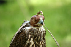 Hunting falcon with leather hood close up Stock Photography