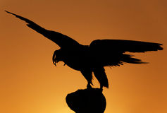 Hunting falcon over sunset Royalty Free Stock Photos