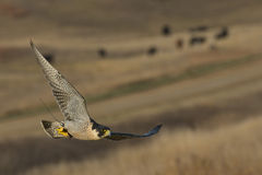 Hunting Falcon. A Peregrine Falcon hunting over the prairie Royalty Free Stock Image