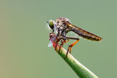 Hunting Fly Stock Photography