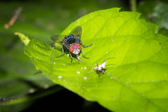 The Hunting Fly. This is a photo of a fly, was taken in XiaMen botanical garden, China Stock Photography